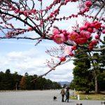 京都御苑の梅が素晴らしい!京都御所はパワースポット~梅の見頃と開花状況・メジロと梅⁈~