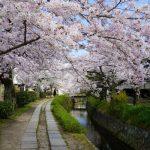 【哲学の道】桜の見頃!今の桜情報!桜の花kissで蘇り!桜の香りは癒し!