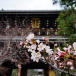【京都】桜穴場と名所スポット2020!早咲き桜は満開!おすすめはどこ?