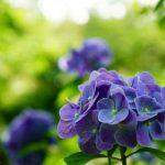 【京都】花に癒されて~あじさい・蓮・半夏生~