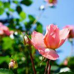 6月になりました!京都植物園再オープン!バラが美しい~